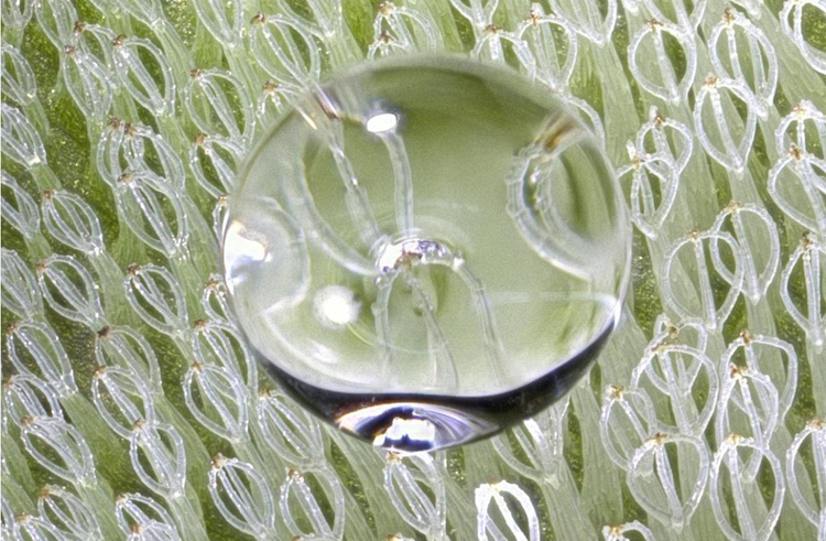 The biological model of technology: Water drop on leaf hair of salvinia molesta (source: KIT).